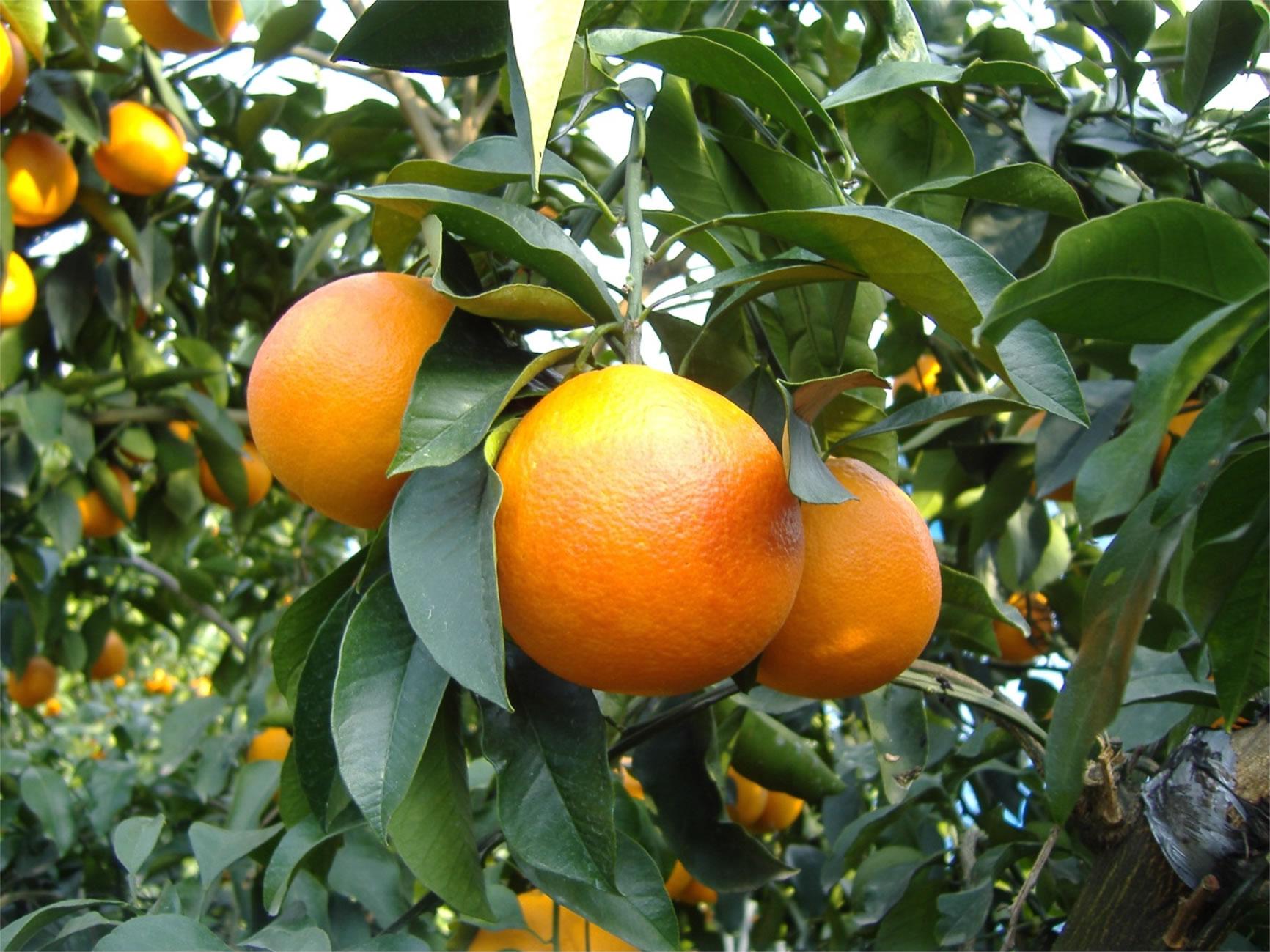 畠中果樹園のブラッドオレンジ